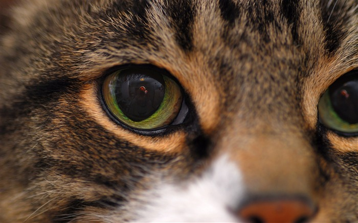 Cat face eyes close-up-Animal Photo HD Wallpaper Views:3742 Date:6/12/2016 5:54:06 AM