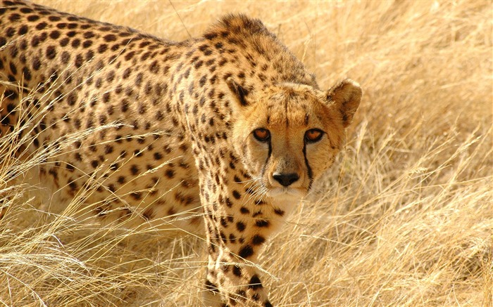 Cheetah grass hunt look attentive-Animal Photo HD Wallpaper Views:4338 Date:6/12/2016 5:56:14 AM