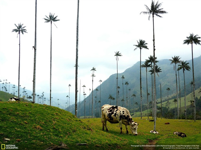 Cows In Colombia-2016 National Geographic Wallpaper Views:2139