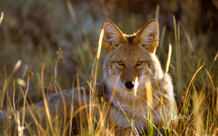 Coyote Colorado Gunnison National Park-2016 Bing Wallpaper Views:1937