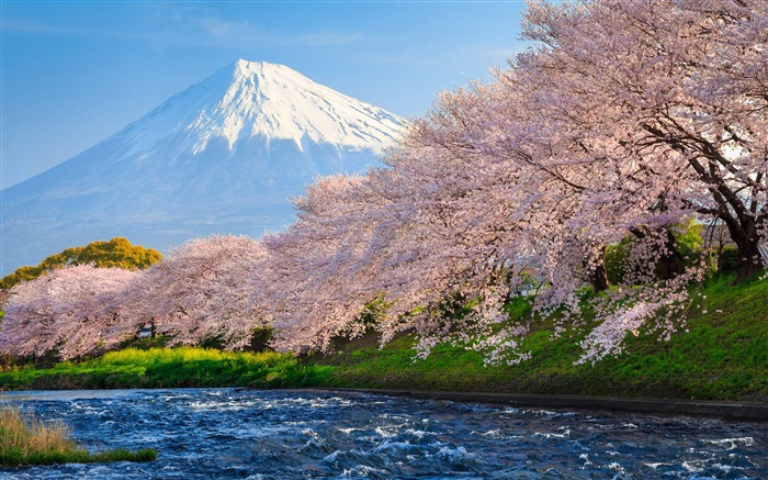 Fuji sakura river japan travel-nature HD photo wallpaper Views:2751