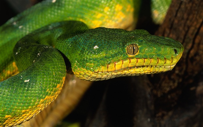Green color snake eyes macro-Animal Photo HD Wallpaper Views:4883 Date:6/12/2016 6:13:34 AM