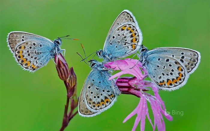 Italy Romani Castelli Butterflies-2016 Bing Wallpaper Views:1650