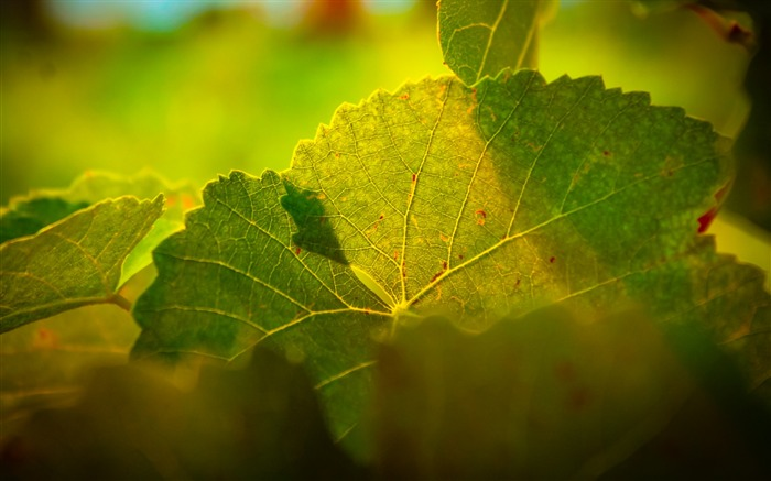 Leaves macro light veins-High Quality HD Wallpaper Views:1859