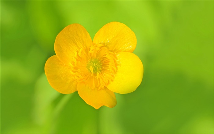 Meadow buttercup flower-2016 High Quality HD Wallpaper Views:1833
