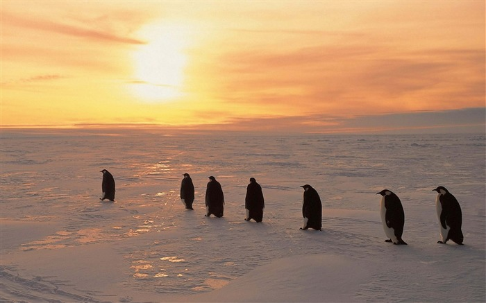 Penguins sunrise winter ice snow-High Quality HD Wallpaper Views:1763