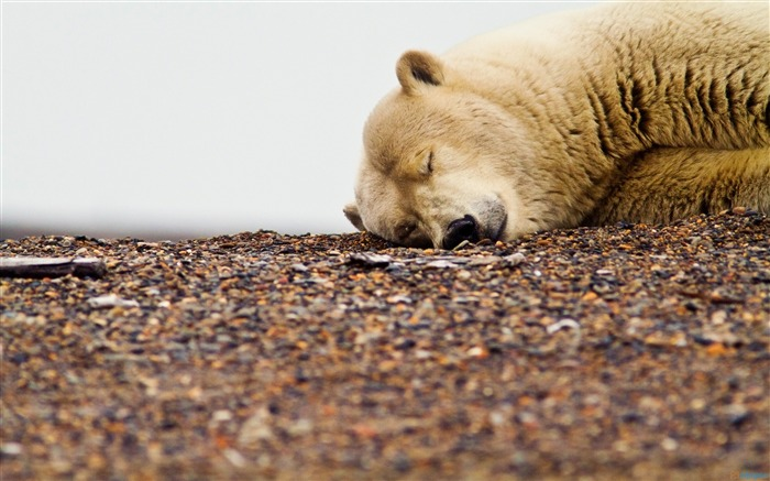 Polar bear sleep-Animal Photo HD Wallpaper Views:4296 Date:6/12/2016 6:06:29 AM