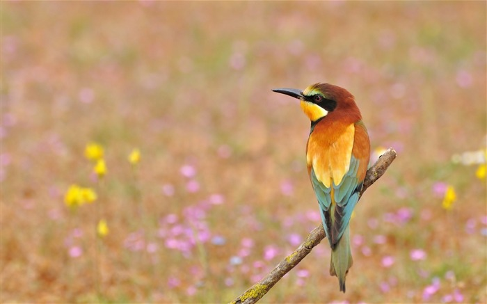 Poultry bee eater golden bird-Animal Photo HD Wallpaper Views:3849 Date:6/12/2016 6:11:21 AM