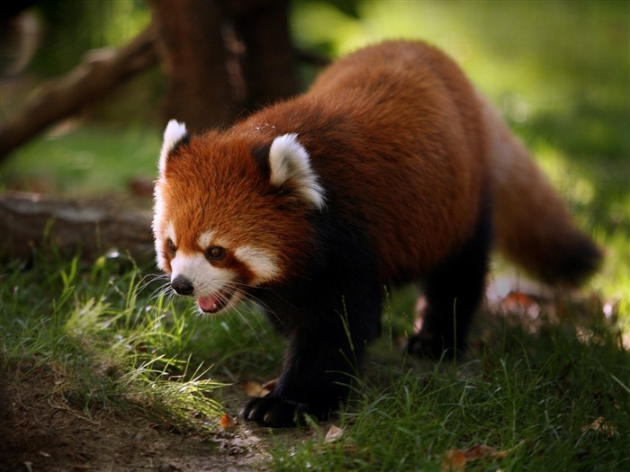 Red panda walk-Animal Photo HD Wallpaper Views:4041 Date:6/12/2016 6:12:08 AM