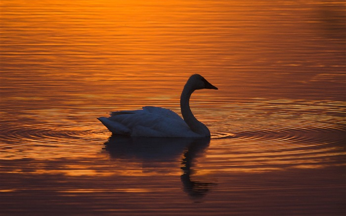 Silhouette Sunset Swan-2016 High Quality HD Wallpaper Views:1223