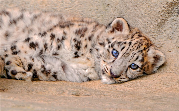 Snow leopard sadness-High Quality HD Wallpaper Views:1555