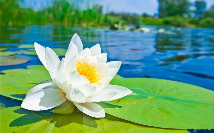 Summer Blooming Lotus Photo Theme Wallpaper Views:3498