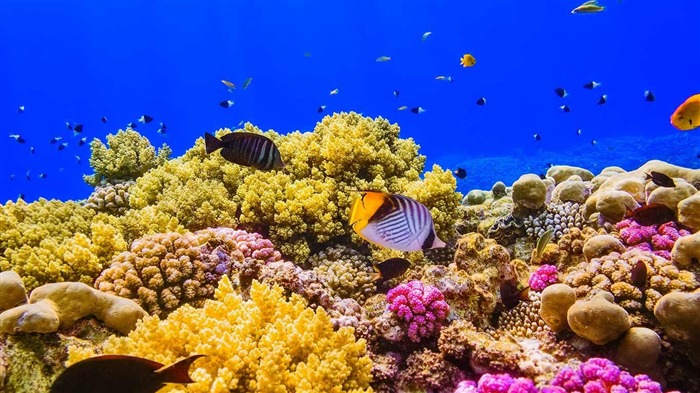 A coral reef in the red sea near egypt 2016 bing desktop wallpaper view - Sea coral wallpaper ...