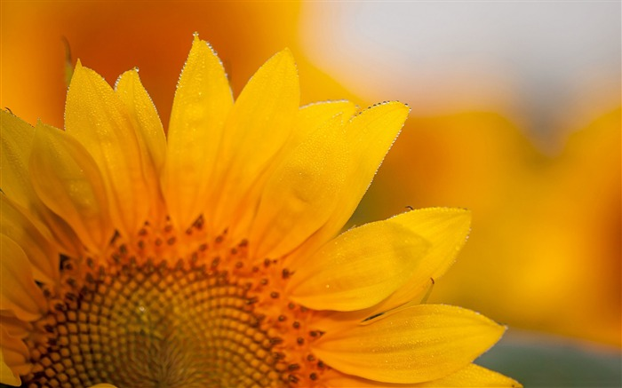 Beautiful sunflower macro-Flowers photography wallpaper Views:1974