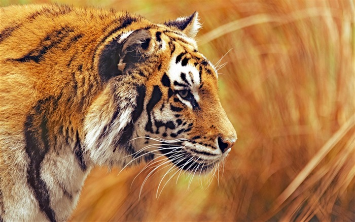Bengal tiger predator macro-Animal Photos HD Wallpaper Views:1834