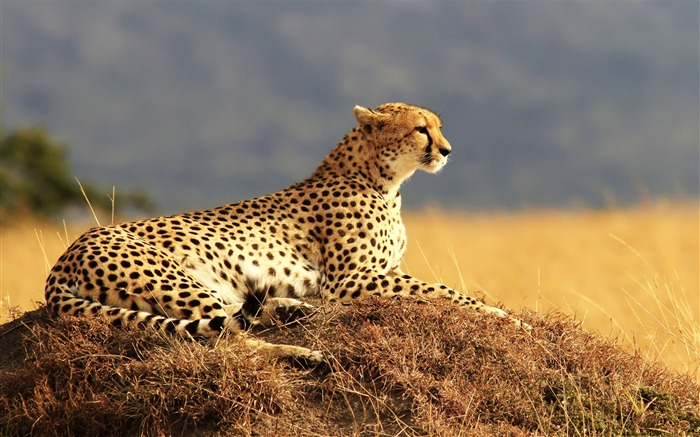 Cheetah Resting Waiting-Classic High Quality Wallpaper Views:1437