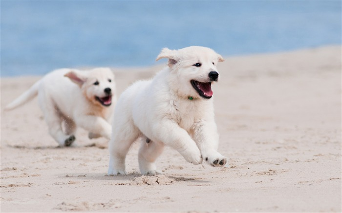 Dog puppy white pet-Animal Photos HD Wallpaper Views:4001