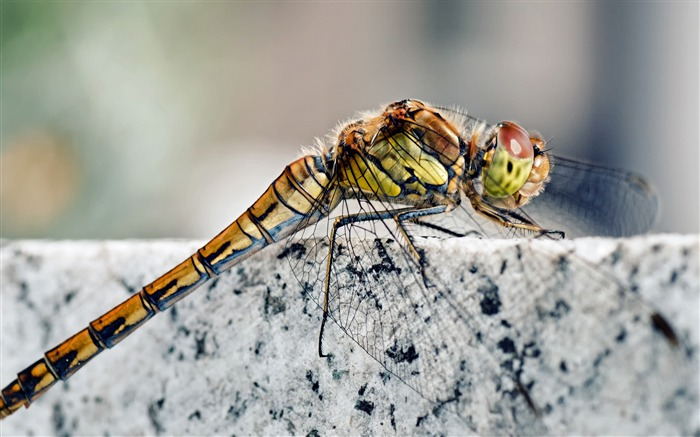 Dragonfly macro insects-Animal Photos HD Wallpaper Views:1325