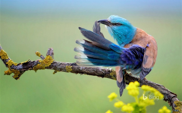 European roller preening in Bulgaria-2016 Bing Desktop Wallpaper Views:1574