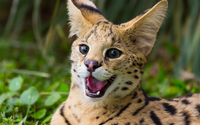 Felis teeth wild animal-Animal Photos HD Wallpaper Views:2004