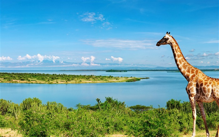Giraffe at nile river-Animal Photos HD Wallpaper Views:1941