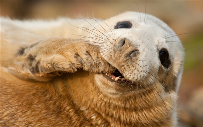 Grey seal scotland sable-Animal Photos HD Wallpaper Views:1999