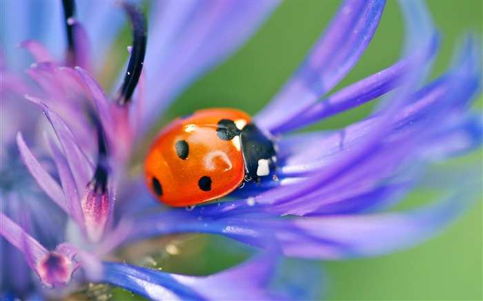 Ladybug on a flower-Animal Photos HD Wallpaper Views:1653