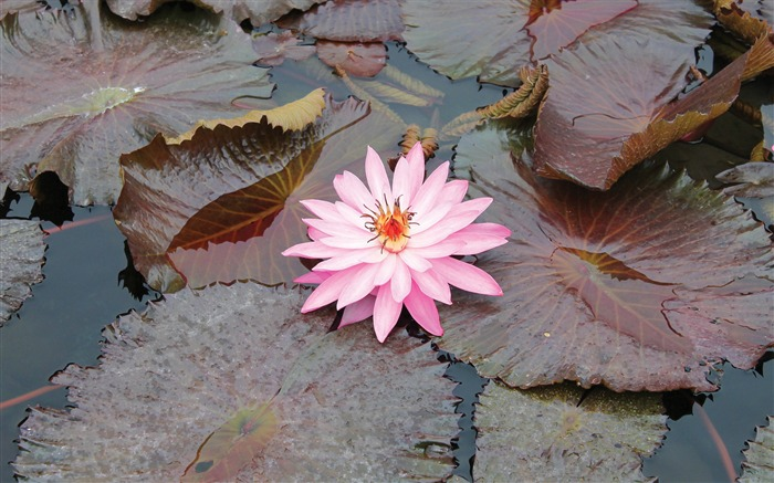 Lily pink leaves water swamp-Flowers photography wallpaper Views:2239