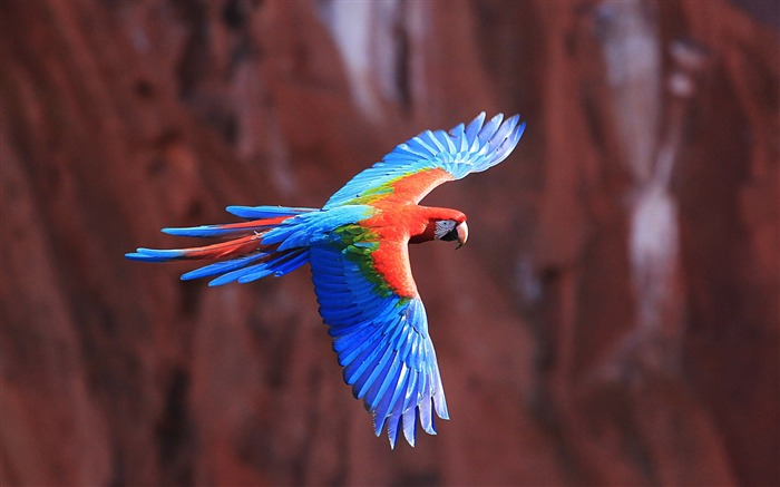 Macaw parrot flying-Animal Photos HD Wallpaper Views:1650