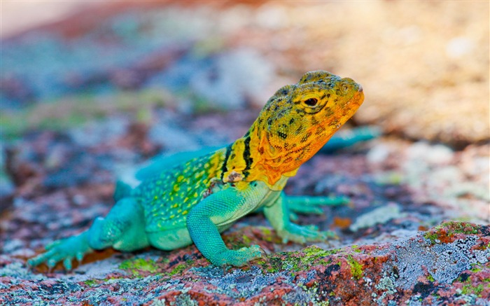 Mexico lizard colorful stone-Animal Photos HD Wallpaper Views:1679