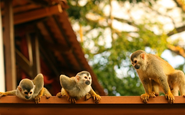 Monkeys atelidae costa rica-Animal Photos HD Wallpaper Views:2709
