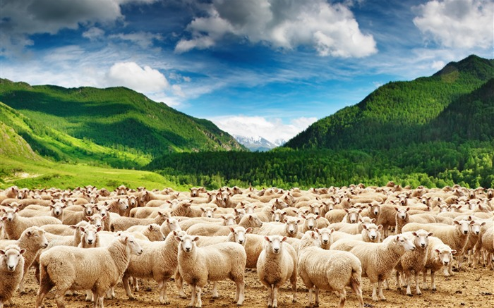 Mountains herd of sheep-Animal Photos HD Wallpaper Views:11566