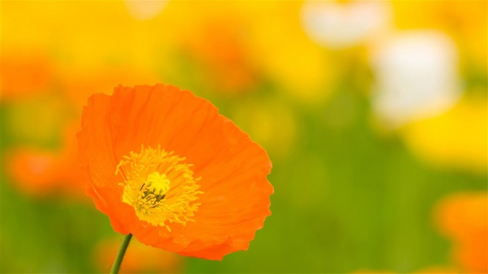 Poppies close up bokeh-Flowers photography wallpaper Views:1685