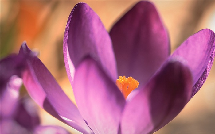 Purple crocus close up-Flowers photography wallpaper Views:2312