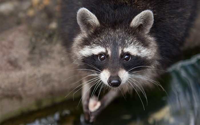 Raccoon eyes close-up-Animal Photos HD Wallpaper Views:1242