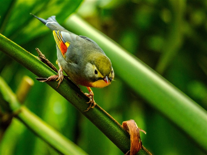 Silver eared Leiothrix cute bird themed wallpaper Views:3661