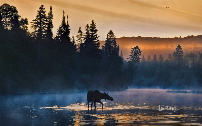 Western moose Michigan-2016 Bing Desktop Wallpaper Views:721