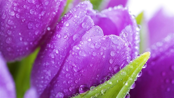 purple tulips drops-Flowers photography wallpaper Views:1278