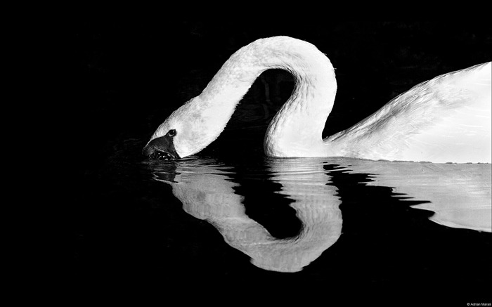 Adrian maas mute swan-Animal High Quality Wallpaper Views:1648