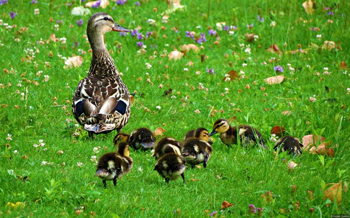 Amber gordon duck newborns-Animal High Quality Wallpaper Views:1509
