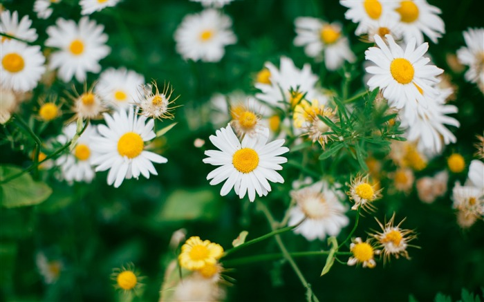 Daisies flowers field-2016 High Quality Wallpaper Views:3806 Date:9/25/2016 1:12:54 AM