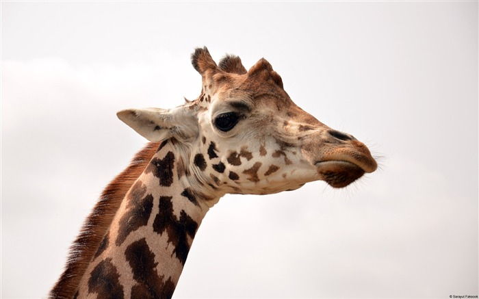 Saray Utfaksook Giraffe-Animal High Quality Wallpaper Views:1780