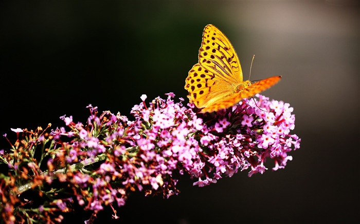 Butterfly insects flowers garden-Animal High Quality Wallpaper Views:1988
