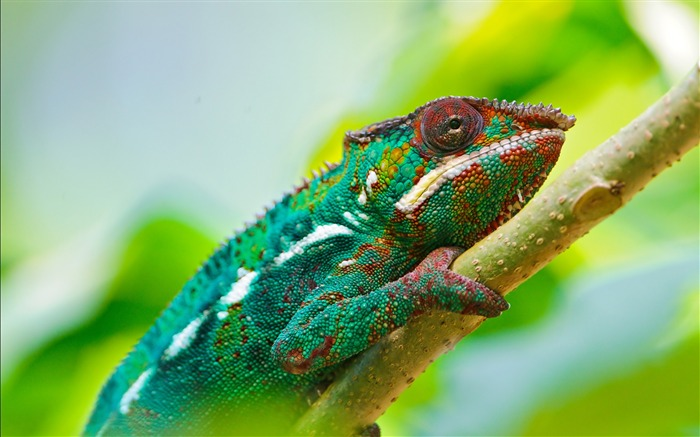 Colorful chameleon macro-2016 High Quality HD Wallpaper Views:2107
