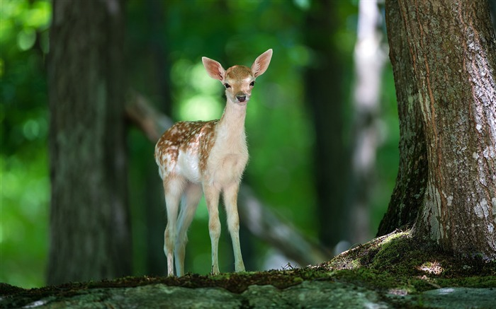 Cute deer forest-Animal High Quality Wallpaper Views:1753