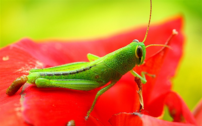 Grasshopper red insects-Animal High Quality Wallpaper Views:1550