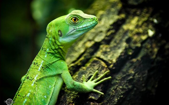 Lizard close-up reptiles-Animal High Quality Wallpaper Views:1645