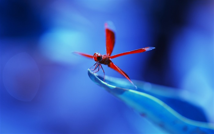 Red dragonfly insects-Animal High Quality Wallpaper Views:1976
