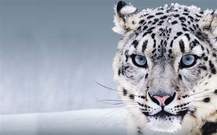 Snow leopard blue eyes-Animal High Quality Wallpaper Views:1062