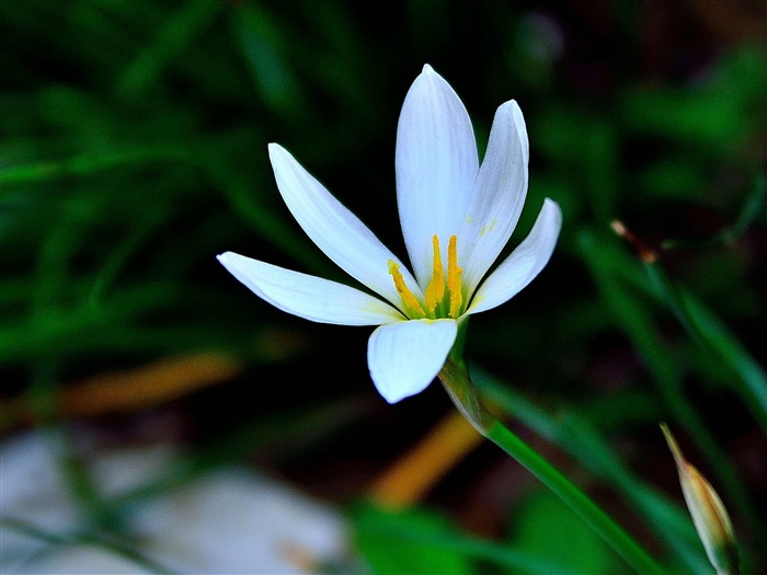 Zephyranthes Candida Flower Macro Photo Theme Wallpaper Views:3491